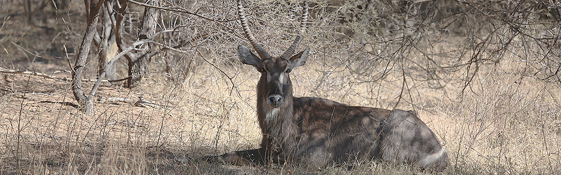Waterbuck in the area around_WL